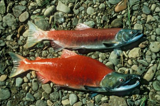 Saumon sauvage Rouge.jpg